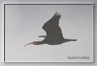 Photo: Eremitibis - Geronticus eremita - Northern Bald Ibis or Waldrapp - L'Ibis chauve NF Photo 121111 at Tamri, Morocco http://nfmoroccobirds.blogspot.se/2013/01/eremitibis-geronticus-eremita-northern.html