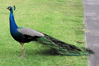 Photo: A Common Peafowl, one of several seen at the Makalei Golf Club