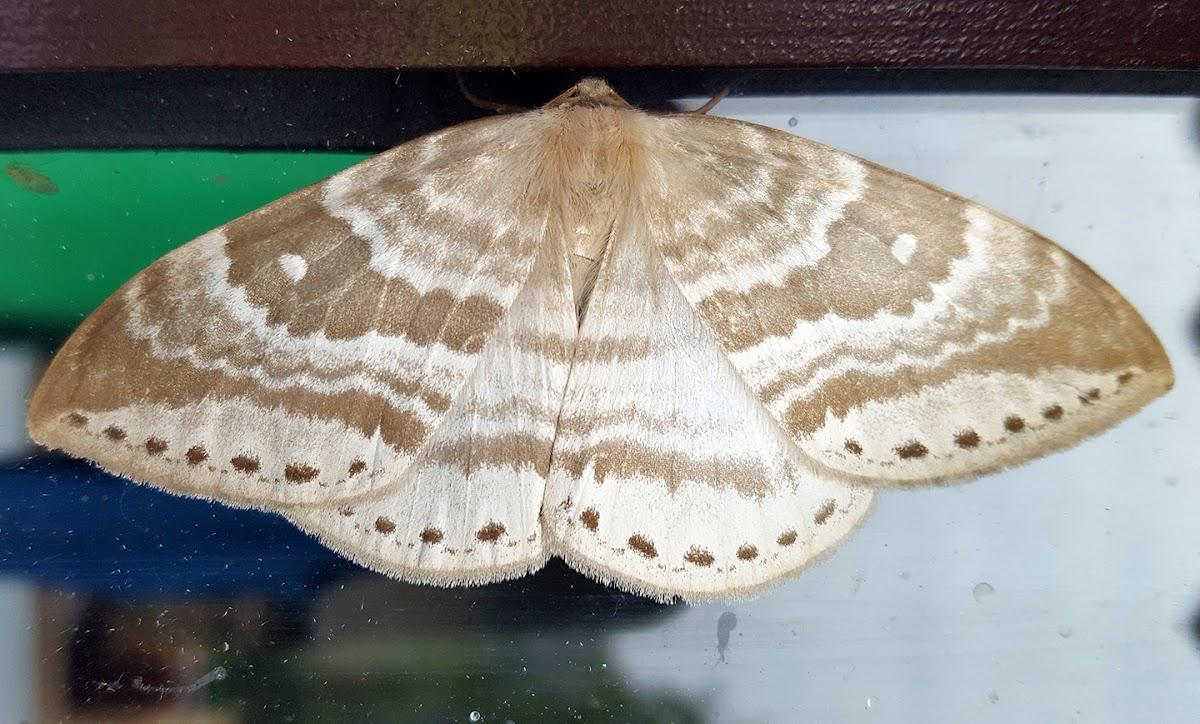 Monkey Moth