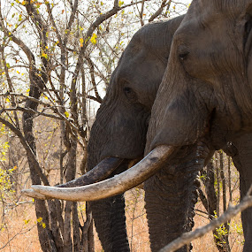 Double by Dawie Nolte - Animals Other Mammals ( grazing elephants, trunk, elephant, tuskers, tusks, africa )