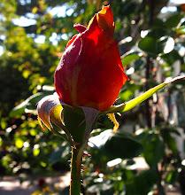 Photo: Empress Hotel Rose Gardens in Victoria, BC