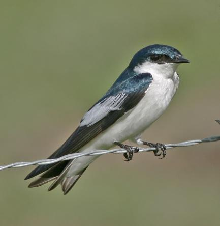 C:\Users\Iwonka93\Downloads\White-winged_Swallow_1052.jpg