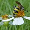 Scoliid Wasp ♂