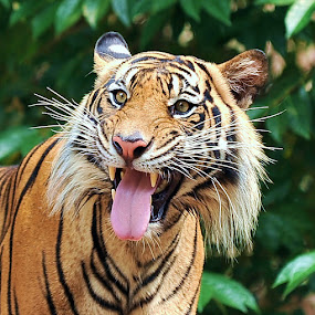 by Chairil Anwar - Animals Lions, Tigers & Big Cats