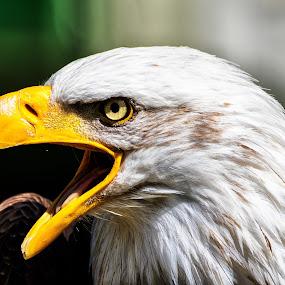 by Ralf  Harimau - Animals Birds ( bird, bird of prey, weisskopfseeadler, raubvogel, nk, vogel, white bald eagle,  )