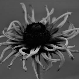 Twirling Plant by Roxanne Dean - Black & White Flowers & Plants ( plant, center, black and white, strips, flower,  )