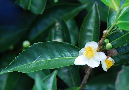 Camellia sinensis – Herb of the Month