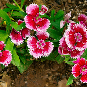 Red, White, and Pink by Mathan Tenney - Flowers Flower Gardens ( red, green, green leaves, white, pink, flowers )
