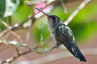 Photo: Broad-billed Hummingbird (Blaukehl-Breitschnabelkolibri); Querétaro, QRO