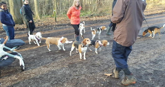 Beagle Meet Boxing Day 2016