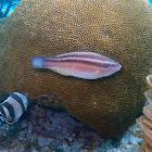 Princess Parrotfish ♀️