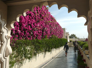Photo: Bougainvillea-Wand
