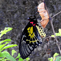 The southern birdwing