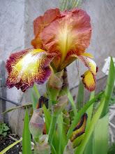 Photo: Iris germánica híbrido
