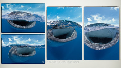 Photo: Splits of whale sharks feeding!