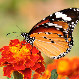 butterfly by SANGEETA MENA  - Animals Insects & Spiders (  )