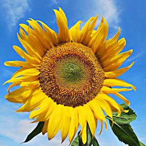 Sunflower by Eugenija Seinauskiene - Nature Up Close Gardens & Produce (  )