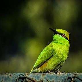 Bee eater by Shivaang Sharma - Novices Only Wildlife ( bird, nature, bee, avian, wildlife, india, eater )