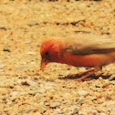 Sinai Rosefinch(Male)