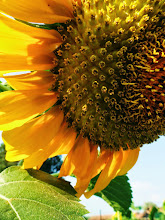 Photo: Large sunflower at Cox Arboretum in Dayton, Ohio.