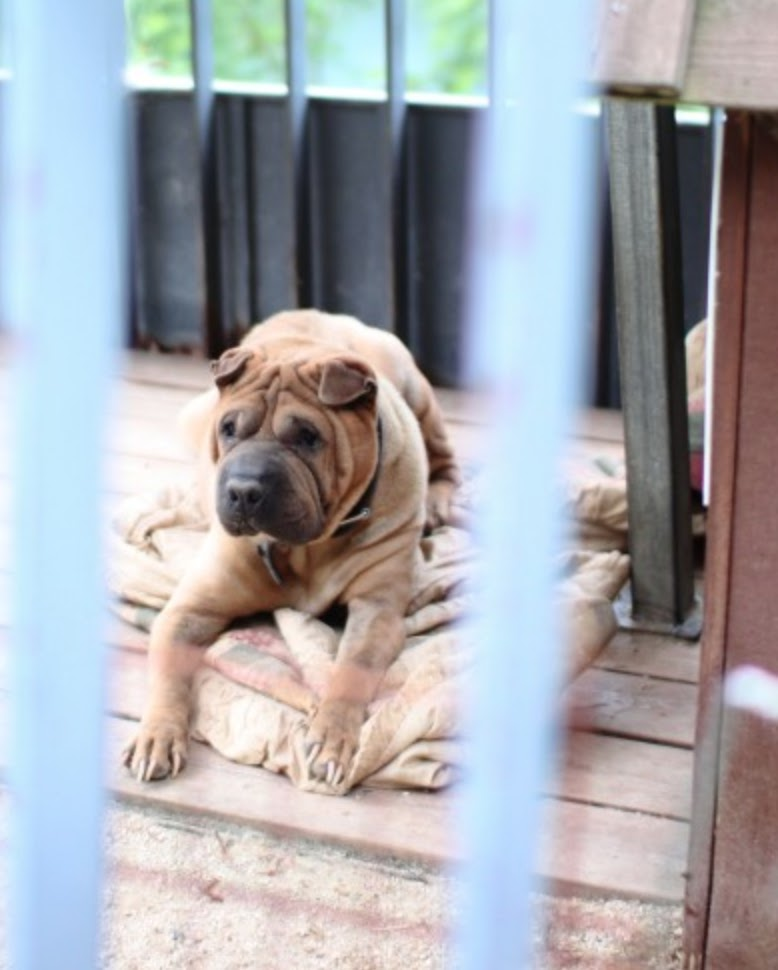 gdragon sharpei dogs 9
