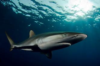 Photo: Silky Shark, Sudan