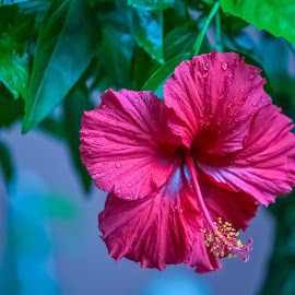 Hibiscus by JoAnne Noel - Flowers Single Flower (  )