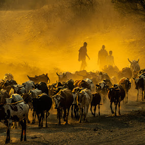 Catlle dust by Joggie van Staden - Animals Other ( animals, sunset, herders, cattle, rural )