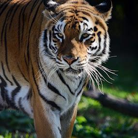 Aggression by AsDigiClicks Photography - Animals Lions, Tigers & Big Cats ( big cat, wild, boston, tiger, asdigiclicks )