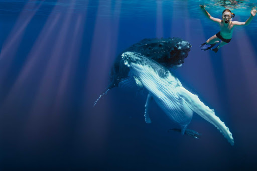 In summer months you can arrange to swim with the whales in Tonga.