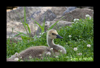 Photo: Cute duckling.