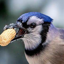 Blue Jay with a Peanut by Debbie Quick - Animals Birds ( debbie quick, nature, blue jay, songbird, winter, debs creative images, new york, pleasant valley, outdoors, snow, bird, animal, wild, hudson valley, wildlife )