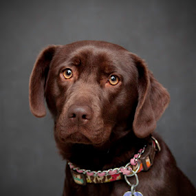 Chocolate Lab by Aimee Hultzapple - Animals - Dogs Portraits