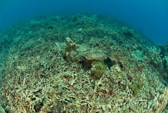 Photo: Dead coral caused by Dynamite fishing or Cyanide fishing