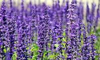 Lavendel  100:-
