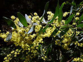 Photo: Mid story - Acacia prominens - gosford wattle