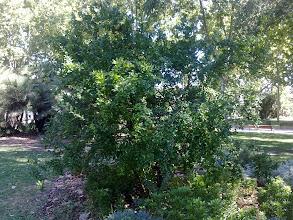 Photo: Granado (Punica granatum)