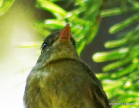 Photo: Close-up of orange lower mandible on Pacific-slope Flycatcher, Trout Creek Swamp, Sisters, OR