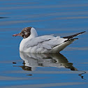 Gaviota reidora (Black-headed gull)