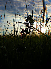 Photo: Lupine (http://en.wikipedia.org/wiki/Lupinus_angustifolius) at sunset on a meadow close to home with lots of herbs.  #sunsetsaturday +Dennis Hoffbuhr   #sunsetsunday  #silhouettesonthursday   #zensunday by +Charlotte Therese Björnström and +Simon Kitcher