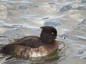 Photo: Priorslee Flash Must be the angle: this shot makes the same duck Tufted Duck look smug. (Ed Wilson)