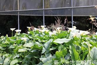 Photo: 拍攝地點: 梅峰-溫帶花卉區 拍攝植物:海芋 拍攝日期:2013_02_15_FY