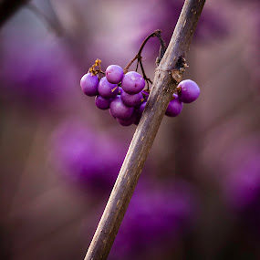 Japanese Beauty Berries by Irv Freedman - Nature Up Close Other plants ( winter, purple, plants, japanese, lavender, berries )