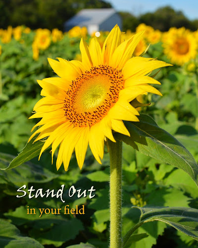 Stand Out In Your Field  by Shannon Maltbie-Davis - Typography Captioned Photos ( field, summer, sunflower, yellow, typography, flower,  )
