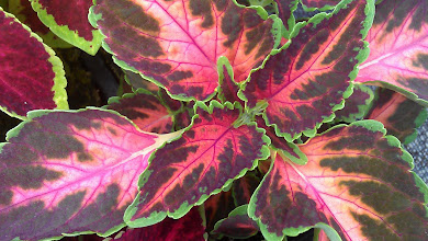 Photo: Coleus - Colbrook Nurseries