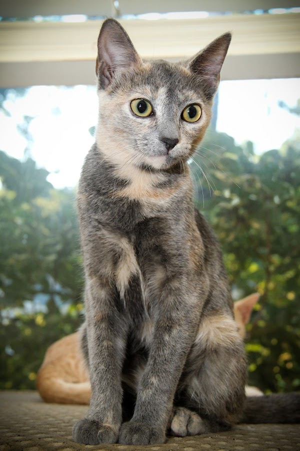 by Tera Moseley - Animals - Cats Portraits ( cat portrait, grey, yellow eyes,  )