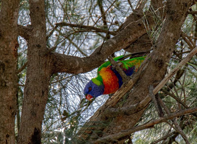 Rainbow Lorikeet di Morellato Marco