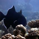 Blue or rippled triggerfish (adult)