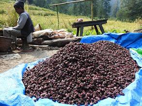 Photo: Entre Kenja et Bhamti Bhandar (récolte de la cardamome alaï ci)