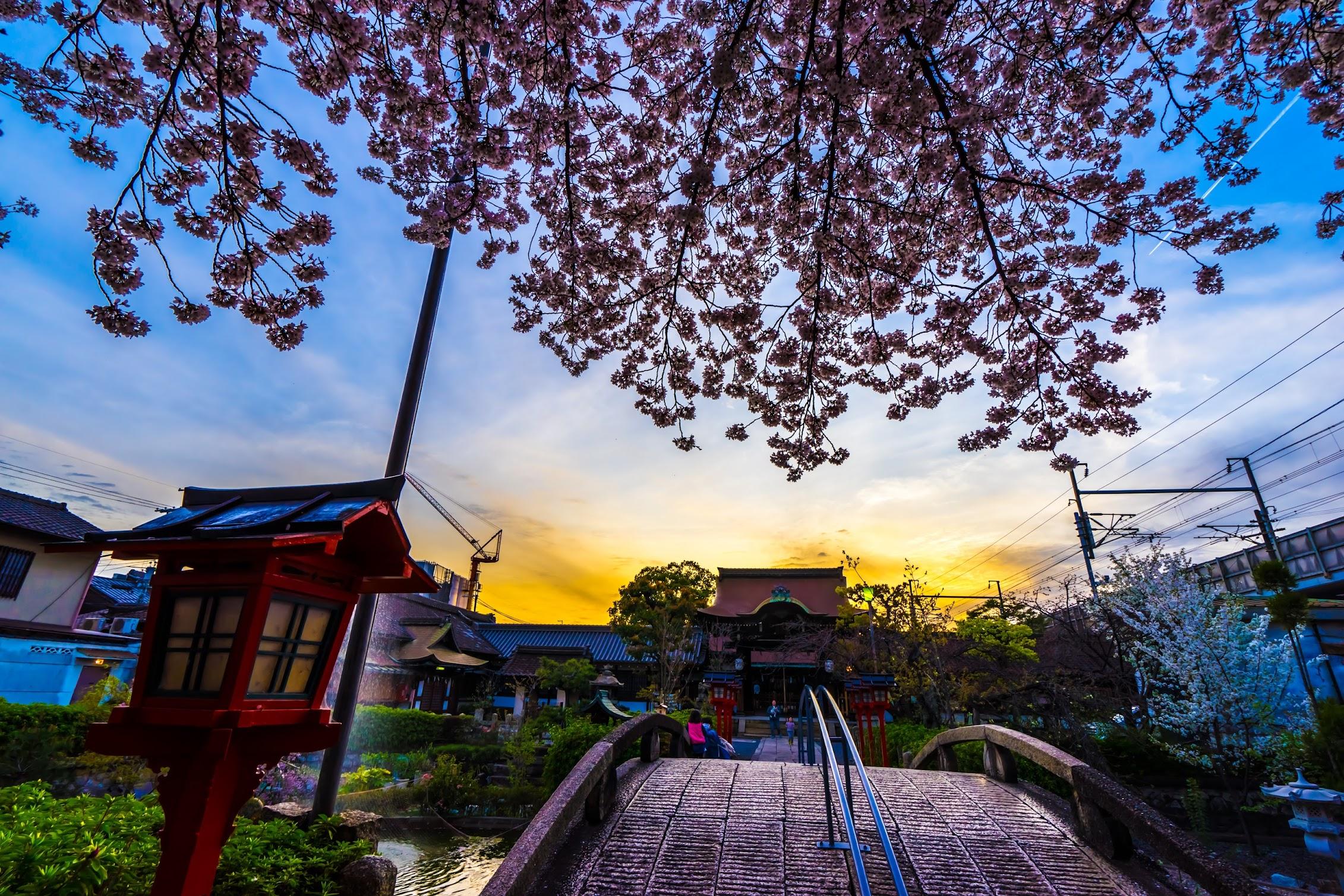 京都 六孫王神社 桜1